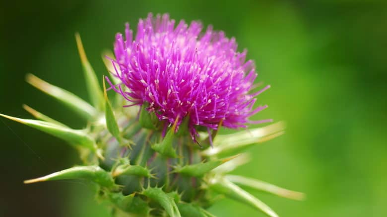 Milk Thistle herb: does your liver need it? - Dr  Koop